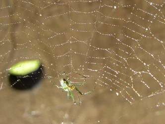 Venusta Orchard Spider by JennHolton