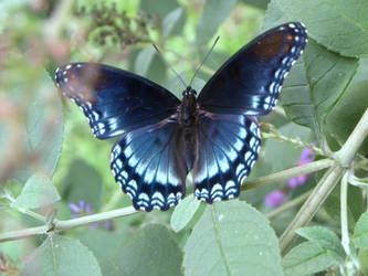 Red-Spotted Purple Butterfly by JennHolton