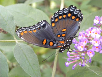 Red-Spotted Purple Butterfly Wing