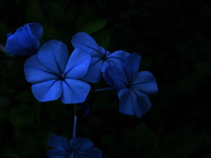 Dark Blue And White Flowers: Dark Flowers By SaturnTheWolf On DeviantArt
