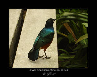 Singapore.9: Starling by Angelfae