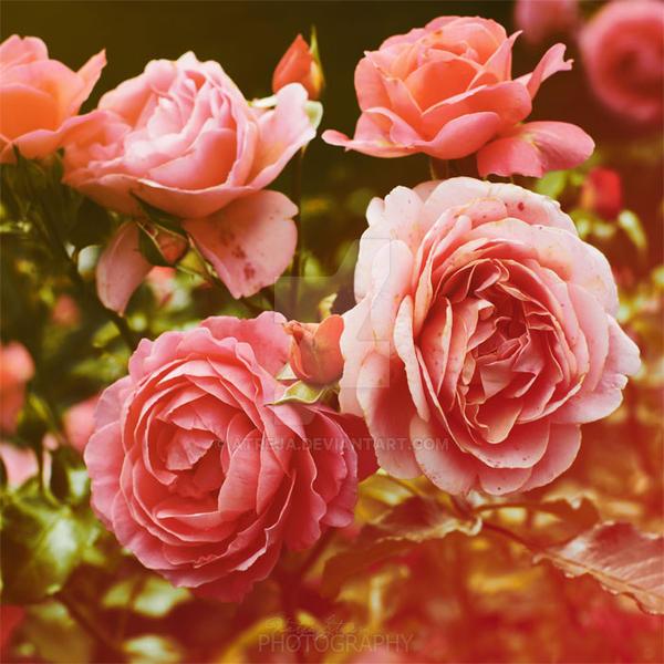 roses. by Atreja