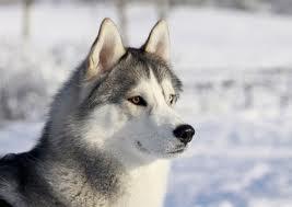 Wolf gray by tsukimichan98
