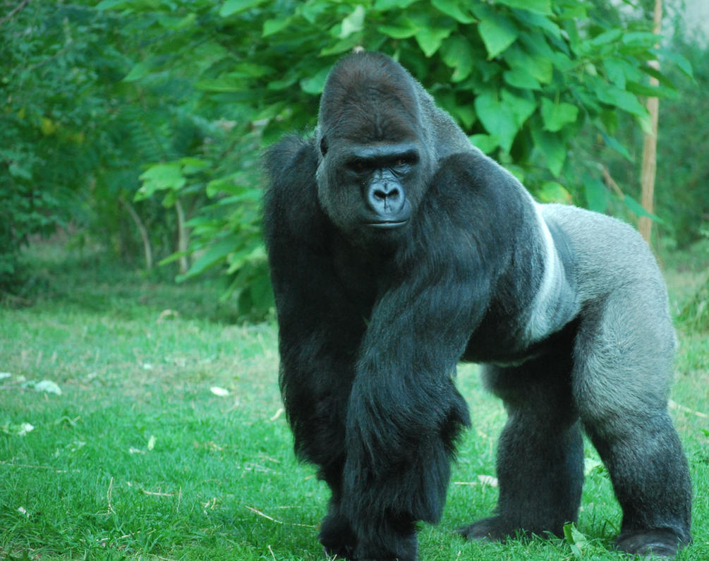 silverback gorilla 2 by tl3319 on DeviantArt