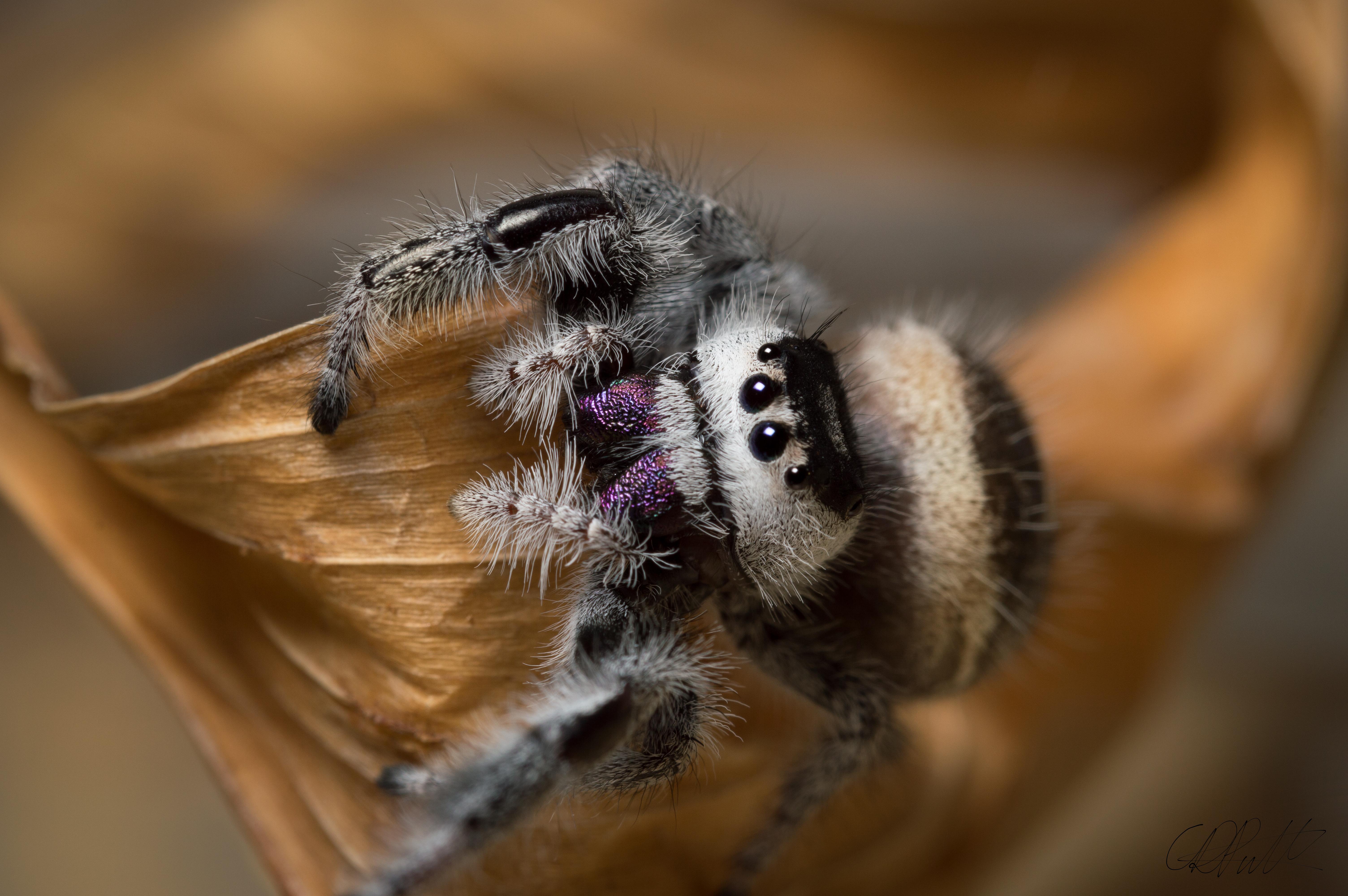 Phidippus regius female by Chris-Pull