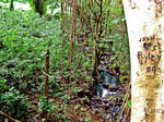 Manoa Falls: The Love tree