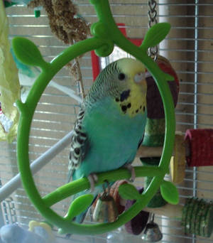 Budgie Sounds by Budgieness on DeviantArt