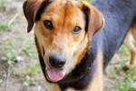 Lee: Adoptable Dog by brandimillerart