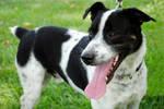 Jaz: Adoptable Dog by brandimillerart
