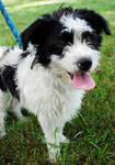 Simon: Adoptable Dog by brandimillerart