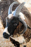 Four Horned Ram