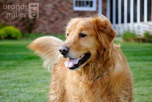 Buddy the Golden Retriever 02 by brandimillerart