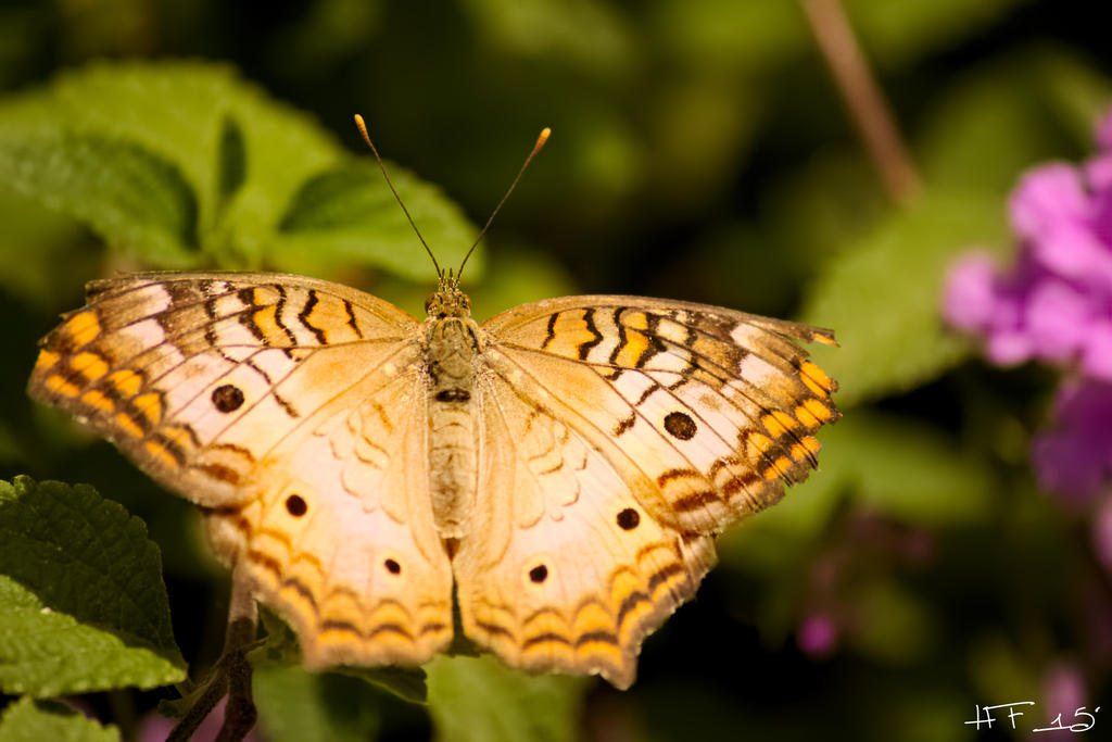 White Peacock Butterfly by Heather-Ferris