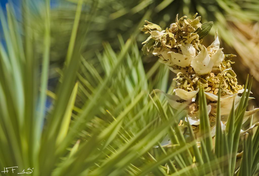 Flowering Joshua Tree by Heather-Ferris