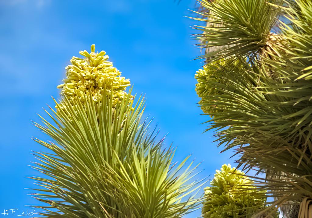 Joshua Tree Flowers by Heather-Ferris