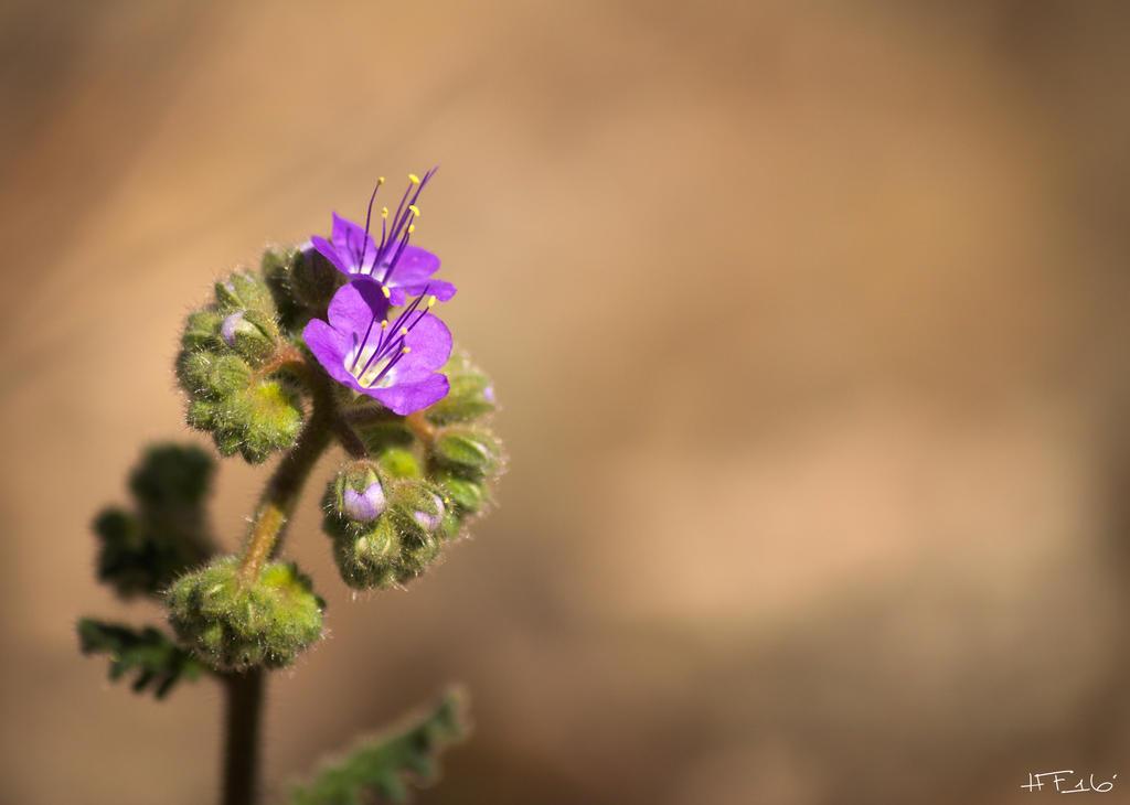 Purple Desert Flower by Heather-Ferris