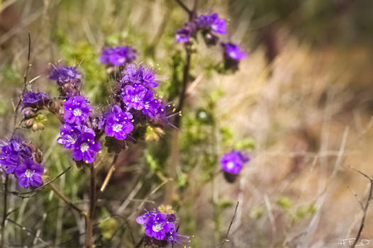 Purple Desert Wild Flowers