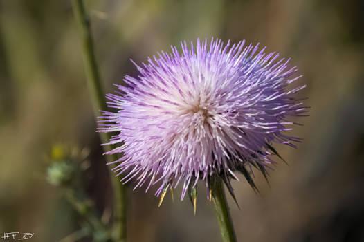 Purple Desert Thistle