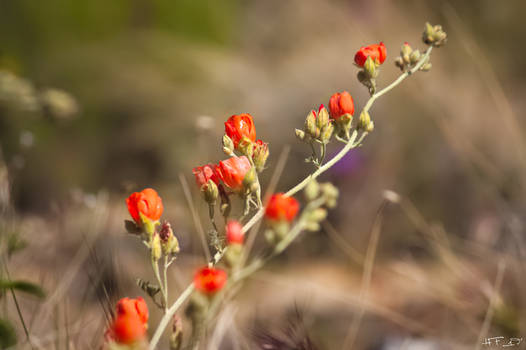 Red Desert Wildflowers