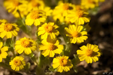 Yellow Desert Wildflowers