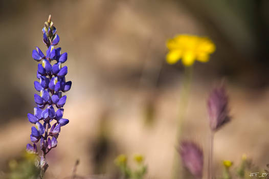 Purple Desert Wildflower