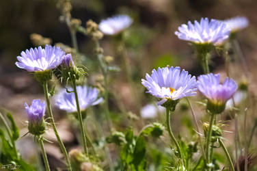Blue Desert Wild Flowers