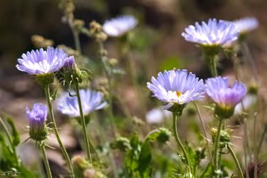 Blue Desert Wild Flowers
