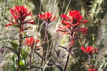 Red Desert Wild Flowers