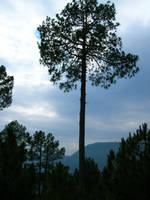 long tree by zamir