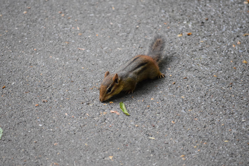 Chipmunk 1 by draegen