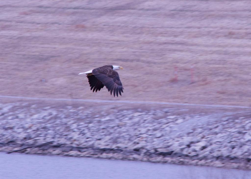 Chalco Bald Eagle by Littlelion225