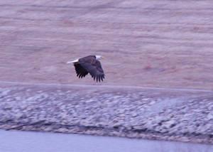 Chalco Bald Eagle