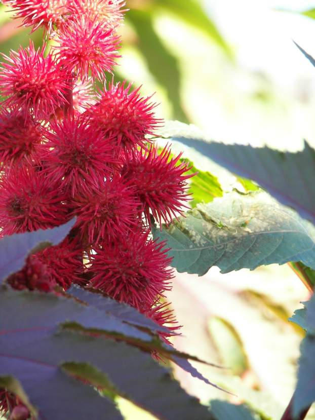 Castor Bean by Littlelion225