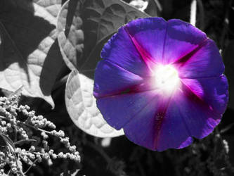 Morning Glory Revisited