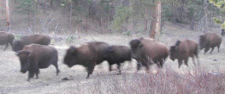 Bison ran.... by Littlelion225