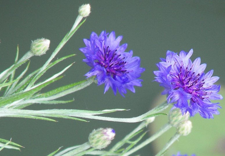 Flowers the color of cobalt by Littlelion225