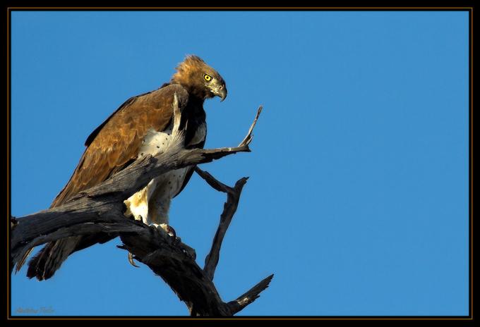 Martial eagle by Bahaloo on DeviantArt