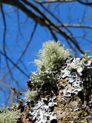 Feathery Lichen