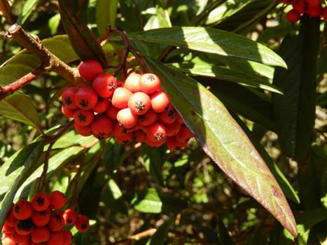 Decorative Berries