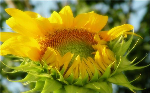 Golden Sunburst by welshdragon