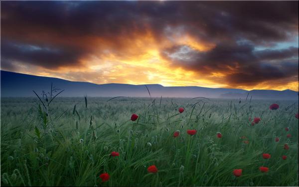 Poppy Fields by welshdragon