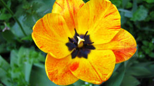 Tulip 6 by Andrei-Azanfirei
