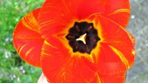 Tulip 5 by Andrei-Azanfirei