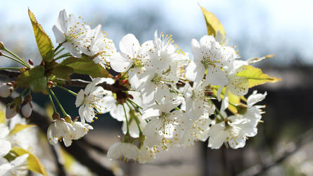 Cherry blossoms by Andrei-Azanfirei