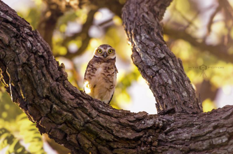 Little Owl by ktsimage