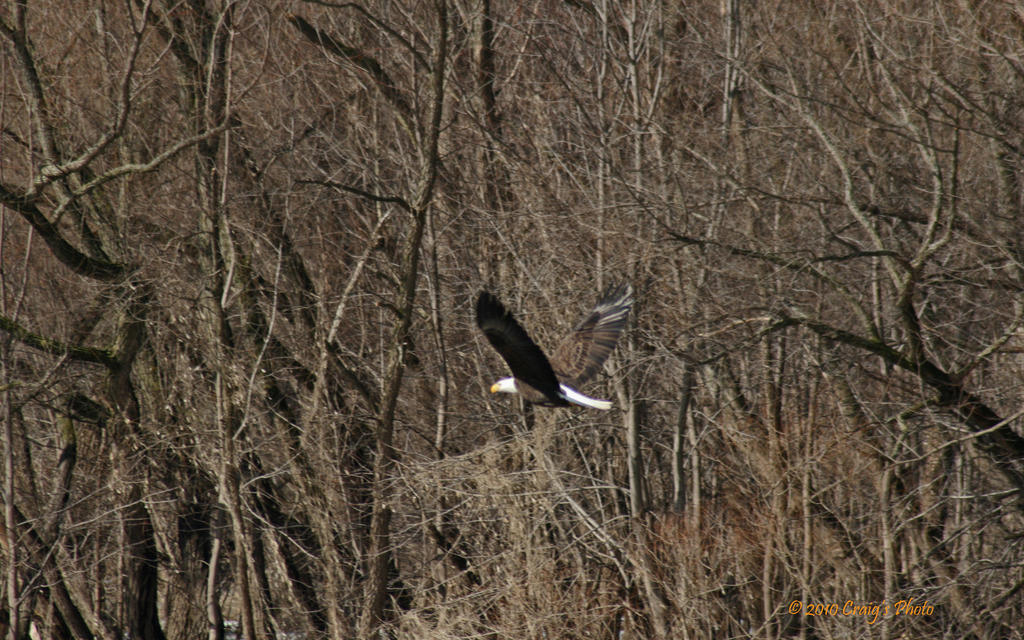 10093 American Bald Eagle by wtsecraig