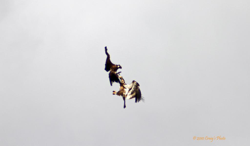10096 American Bald Eagles by wtsecraig