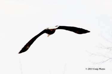 13007 0056 American Bald Eagle by wtsecraig