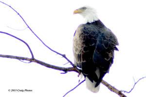 13008 0068 American Bald Eagle