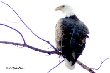 13008 0068 American Bald Eagle by wtsecraig